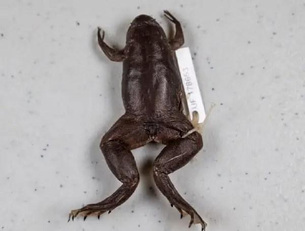 Florida Frog