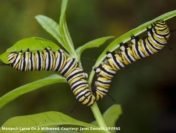 "Monarch larva on a milkweed. It is ""courtesy, Jaret Daniels, UF/IFAS"