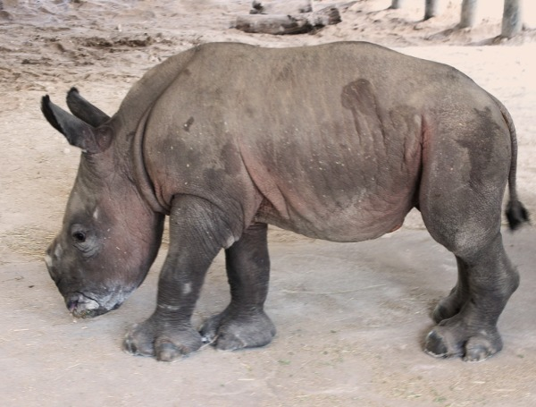 BIG BABY NEWS: IT'S A GIRL! RARE SOUTHERN WHITE RHINO BORN AT ZOOTAMPA AT LOWRY PARK