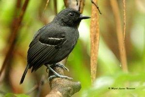 Alpahuayo-Antbird16050