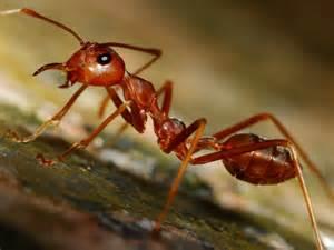 tanahoy.com fire ant