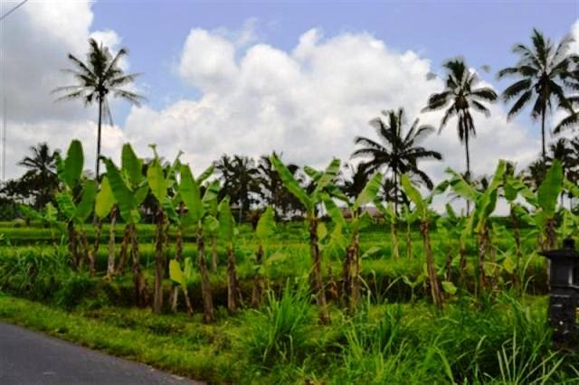 Tanah dijual di Ubud dengan pemandangan sawah - TJUB002