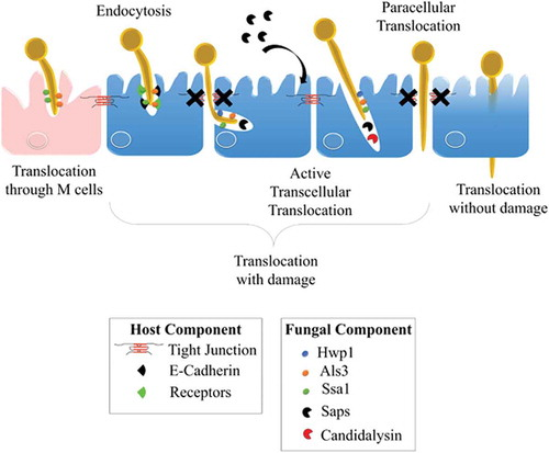 Candida bypassing the gut