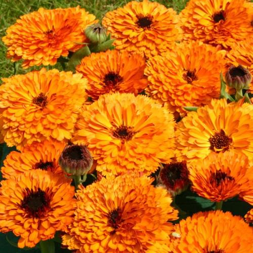 Calendula officinalis Orange Button  wholesale seeds