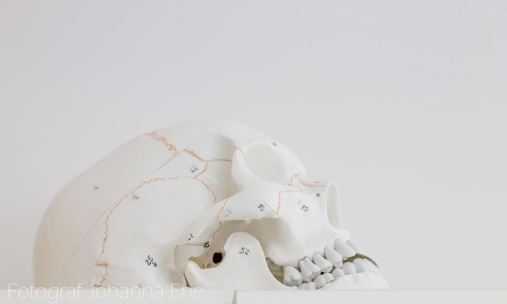 Modell av mänskligt kranium.