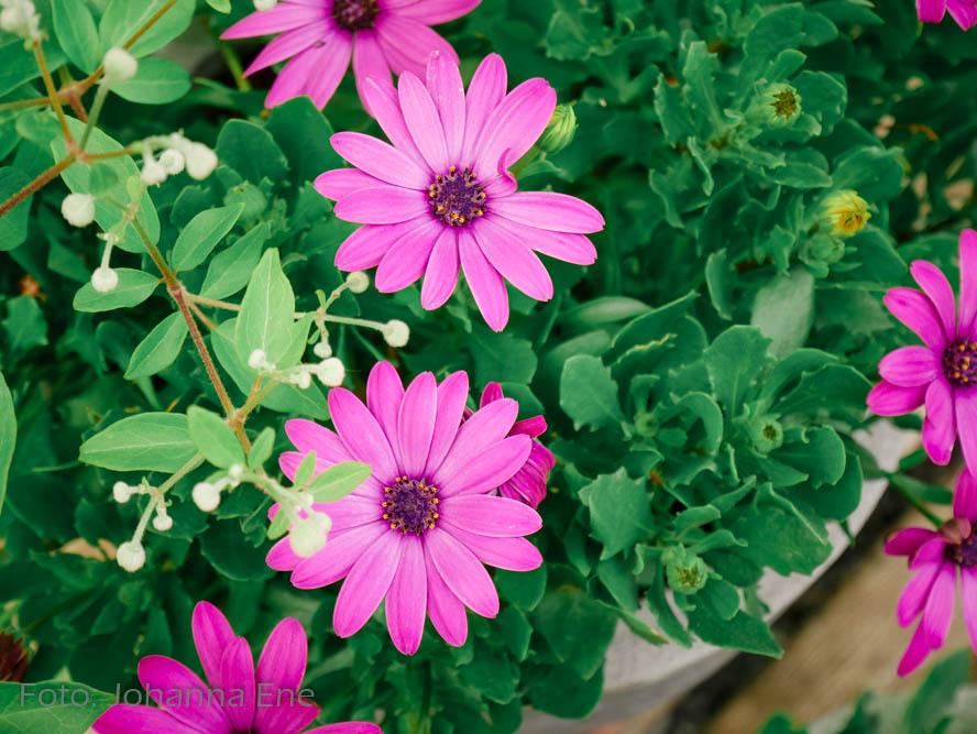 Kruka med rosa blommor. Stjärnöga.