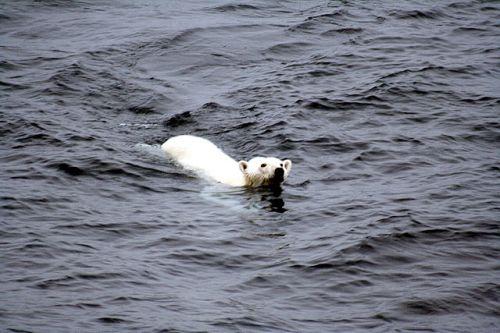 """因為冰層減少,北極熊移動時間拉長、也更難捕食到海豹,換言之牠們正因此需要忍受飢餓。 CC by<a href=""""https://commons.wikimedia.org/wiki/File:Polar_bear_arctic.JPG#/media/File:Polar_bear_arctic.JPG"""" target=""""_blank"""">Mbz1</a>"""
