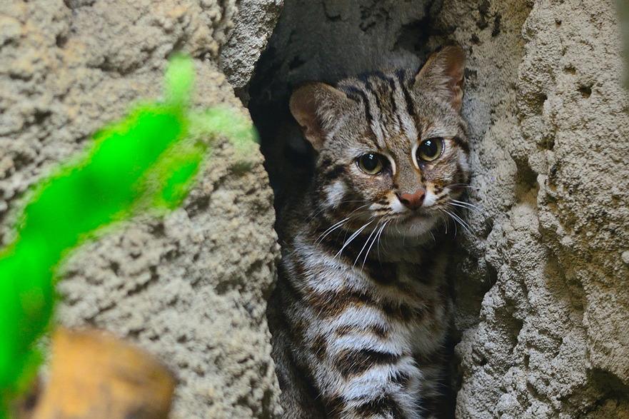 石虎保育展 集寶現身動物園發聲 | 臺灣動物新聞網
