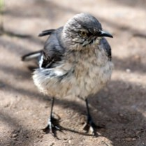Northern Mockingbird (Young)