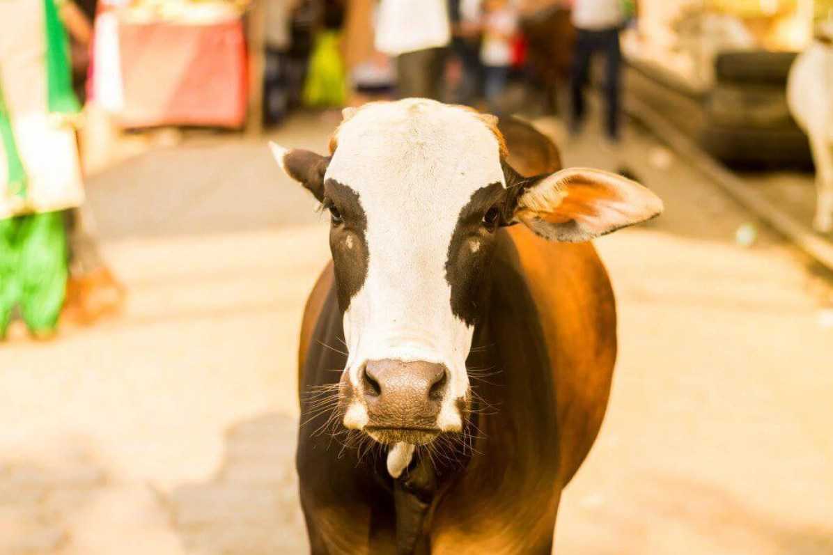 first-time-in-india-cow-in-the-street