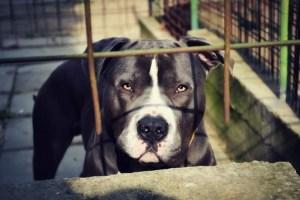 zakazane rasy psów w Wielkiej Brytanii - zakazane psy w UK