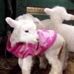 Lammetje met een trui