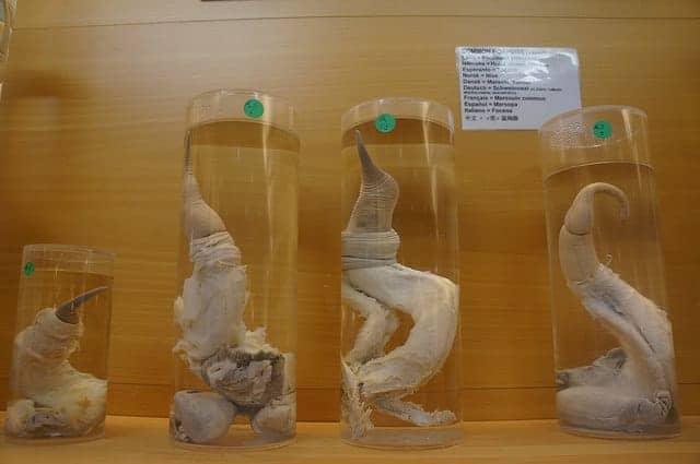 penis museums
