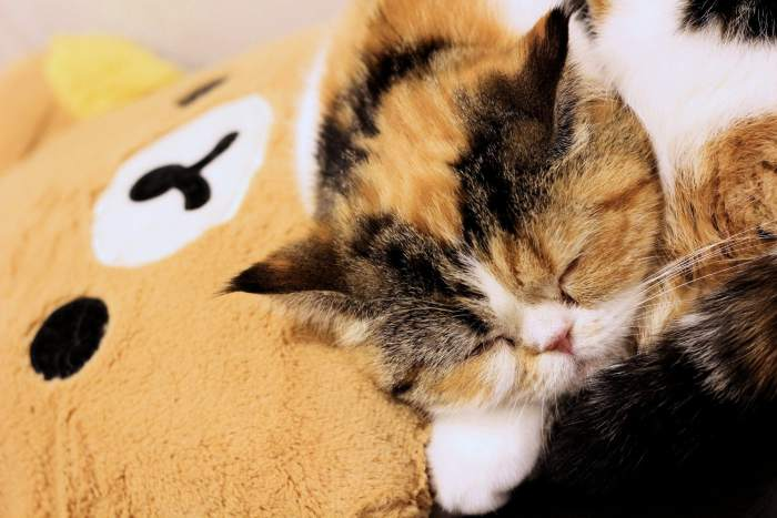 cat-cafe-nyankoto-26
