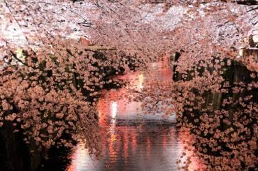 Naka Meguro Sakura