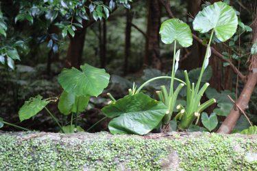 Yakushima 14 juillet (8)