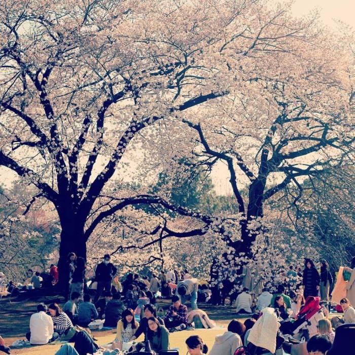 On ne se lasse pas des Sakura