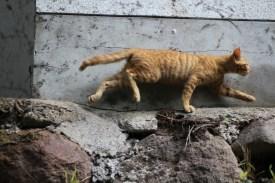 Kurokawa Onsen Cats 21 juillet 2017 (6)