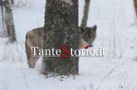 I lupi dell'area protetta di Civitella Alfedena
