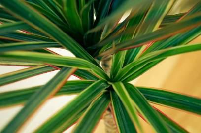 De Dracaena is één van de planten die tegen een stootje kunnen