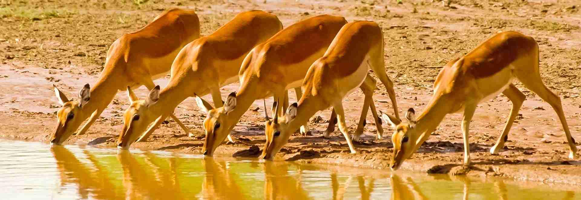 Antilopes Impalas Ruaha, sud Tanzanie