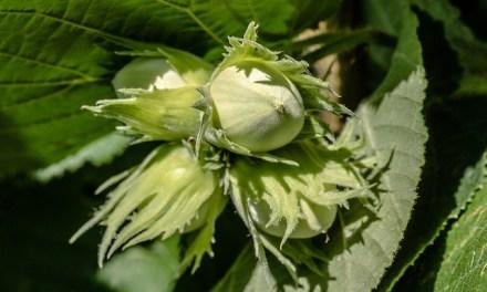 Pflanzenmagie: Haselnuss