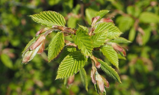 Die Bachblüten stellen sich vor – heute: Beech