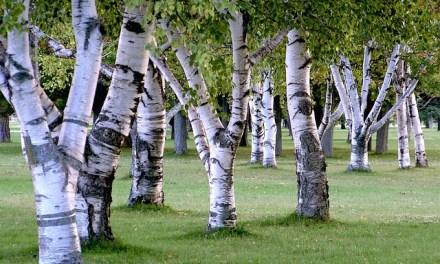 Pflanzenmagie: Birke