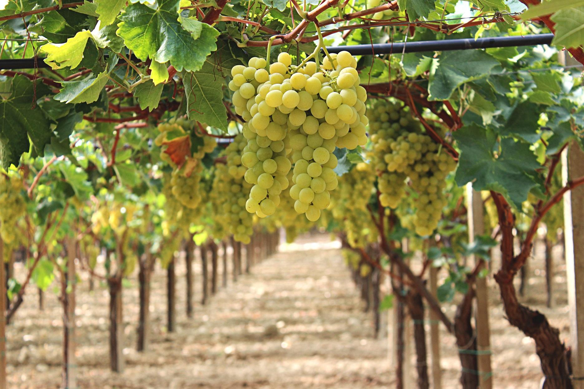 Mazzarrone ct al via l xi edizione del festival internazionale dell uva da tavola igp - Uva da tavola di mazzarrone ...