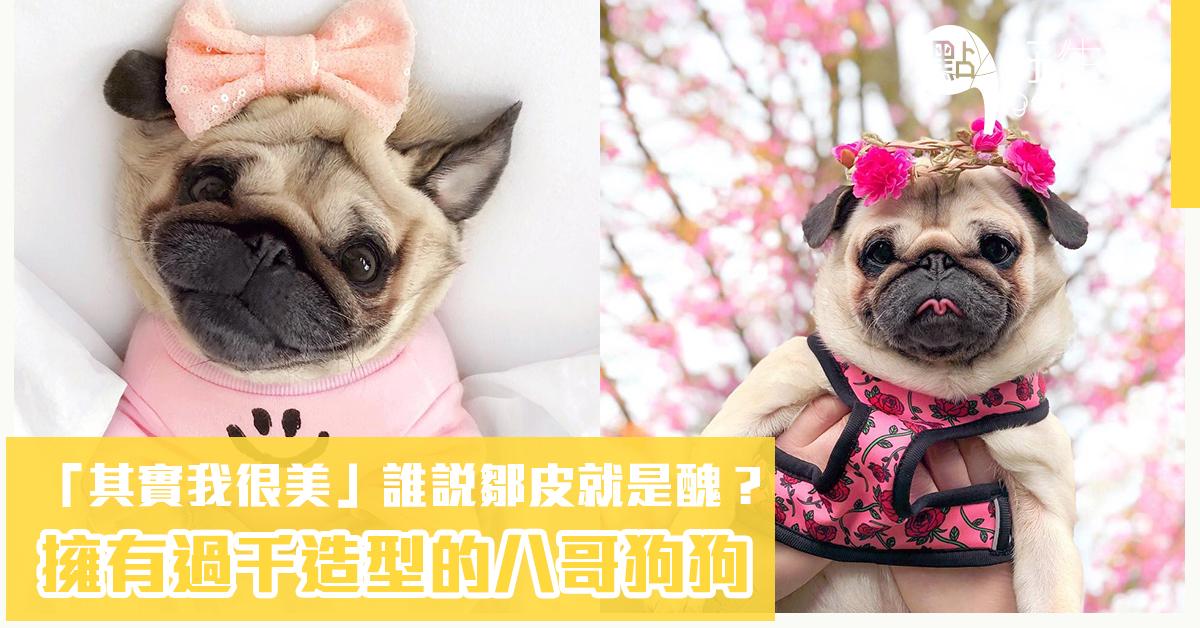 「其實我很美」誰說鄒皮就是醜?史上不只最愛美。也擁有過千造型的八哥狗狗! - 點好生活