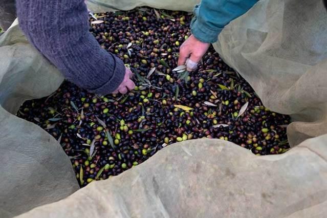 Colheita da azeitona em Nisa