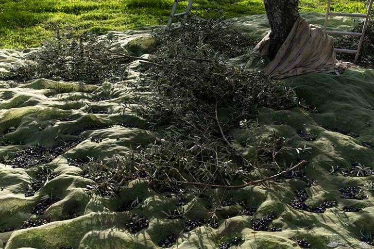 Ramos de oliveira com azeitona