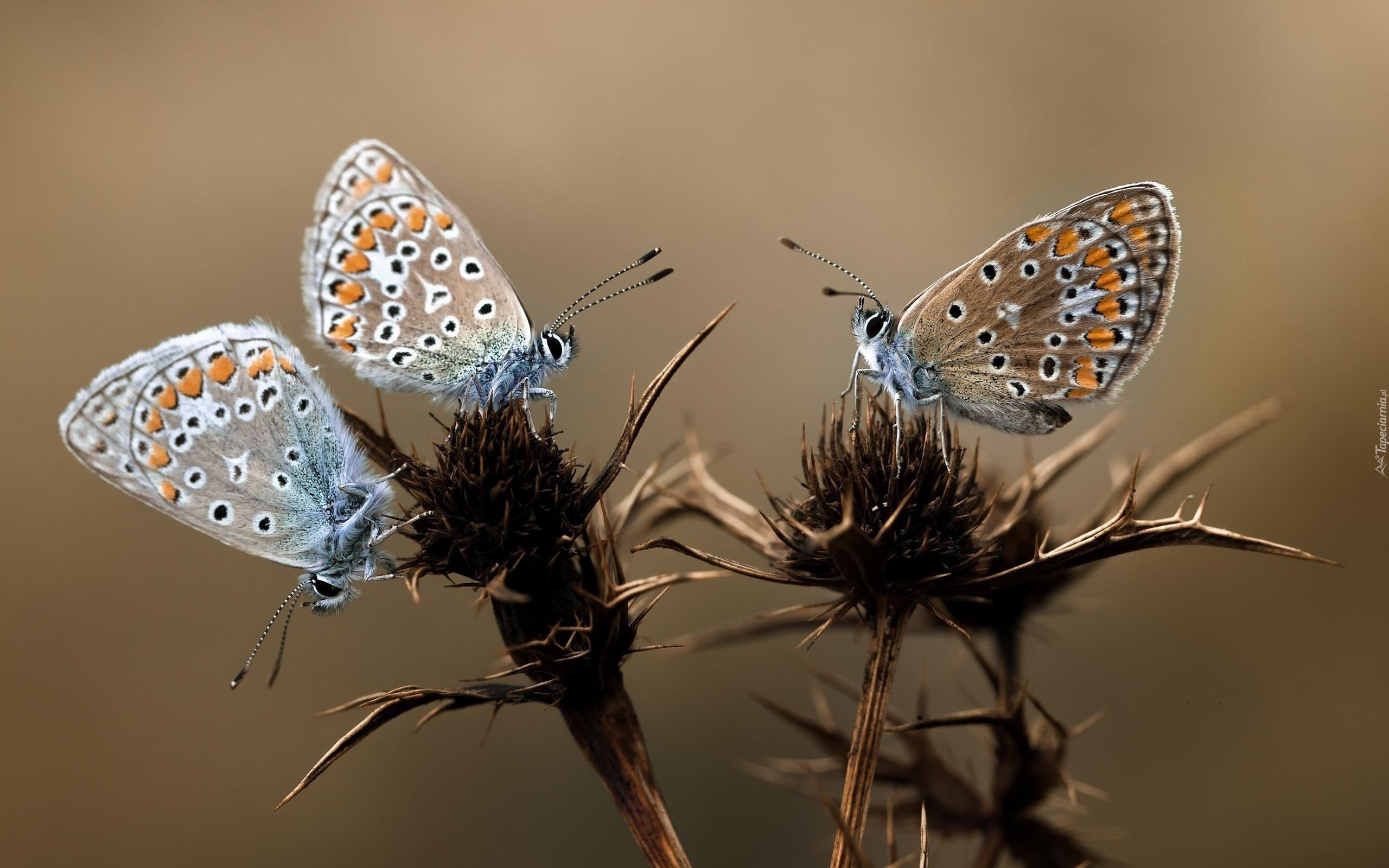 Fall Birds Wallpaper Osty Kolorowe Motyle Modraszki