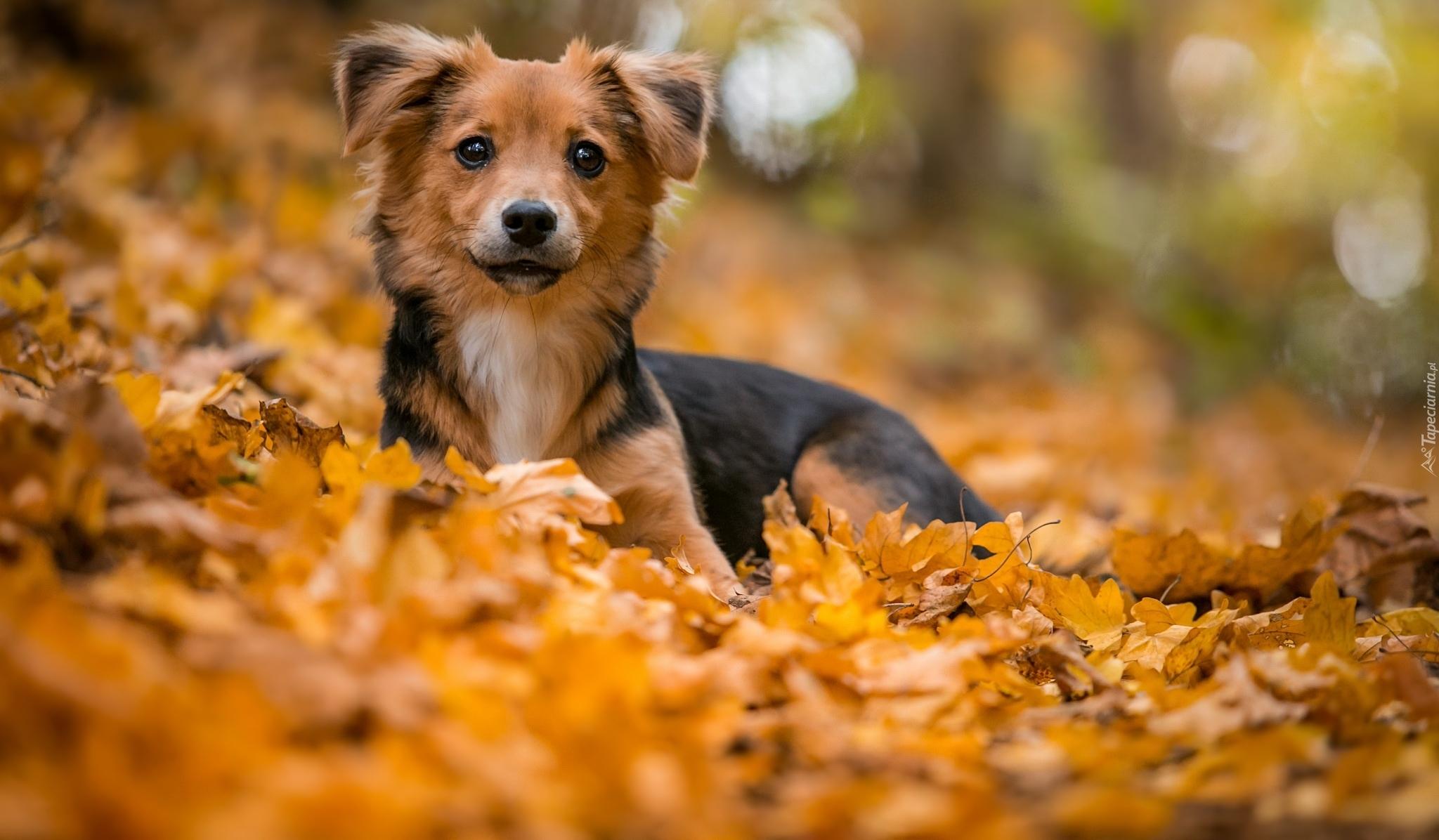 Fall Puppy Wallpaper Kundelek W Jesiennych Liściach