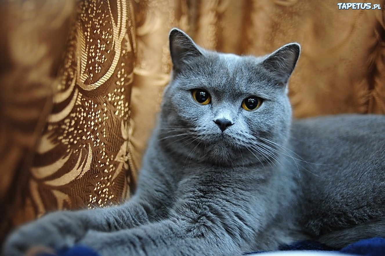 Kotek Brytyjski Krótkowłosy Niebieski Matyldownia