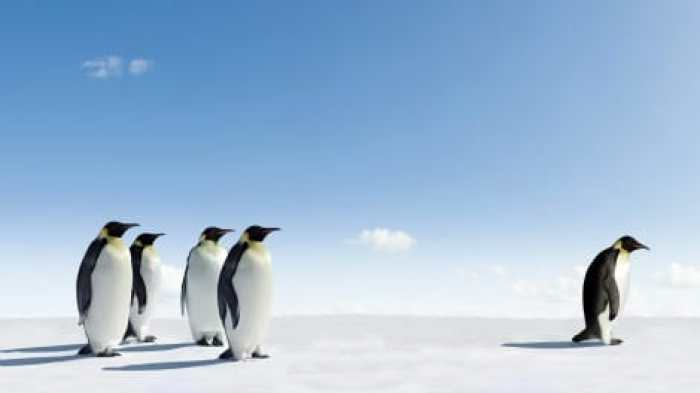 Emperor Penguin rejected by other Penguins - fear of success