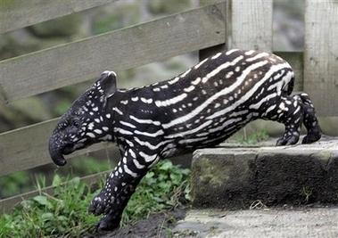 Image result for tapir