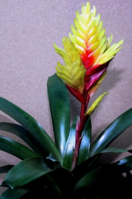 Über 100 verschiedene Vriesea-Arten kennt man, von denen eine ganze Reihe als Topfpflanzen kultiviert werden. Die berühmteste von allen ist Vriesea splendens, das Flammende Schwert. Die meisten Vrieseen sind in Brasilien beheimatet, V. splendens kommt aus Französich Guayana. Ihre natürliche Blütezeit liegt zwischen März und Mai. Allerdings gibt es auch zu anderen Jahreszeiten blühende Topfpflanzen zu kaufen.