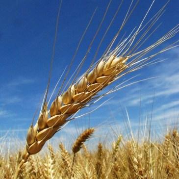 """Miért fontos megérteni a gabonafélék """"védekezési"""" mechanizmusait?"""
