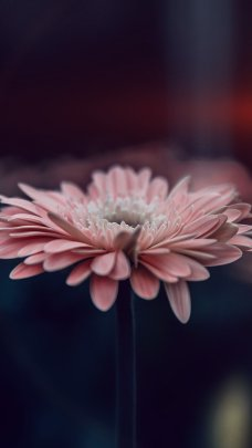 Light Pink Closeup HD Flower Wallpapers for iPhone 7