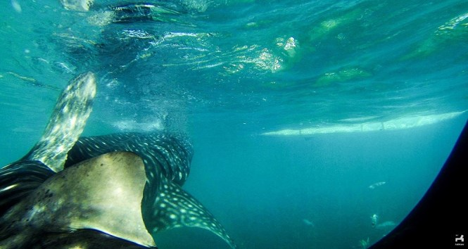 Whaleshark in Oslob, Cebu