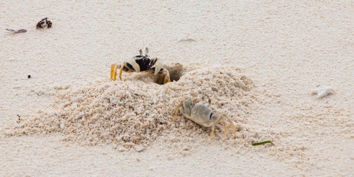 Crabs in Seco Island