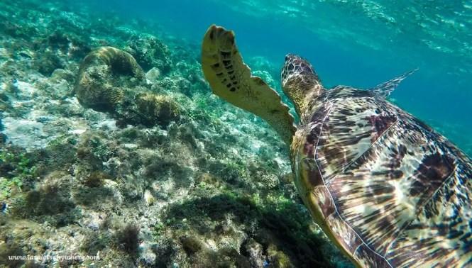 Sea turtle in Apo Island