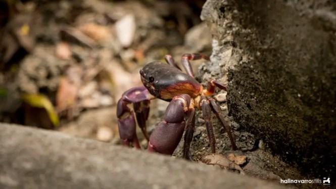 Crab in Target Island, Bulalacao