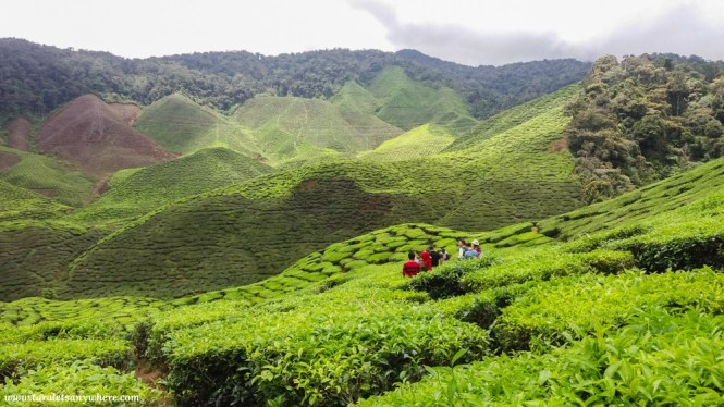 Cameron Valley tea plantation in Cameron Highlands, Malaysia