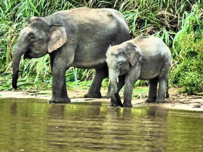 Elephants in Kinabatangan River, Sabah