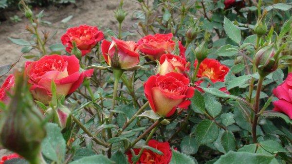 trandafiri-magic-hit-1314