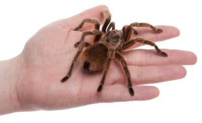 handling pet tarantulas tarantula