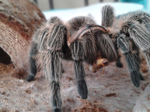 chilean rose hair eating