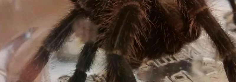 Costa Rican tiger rump tarantula